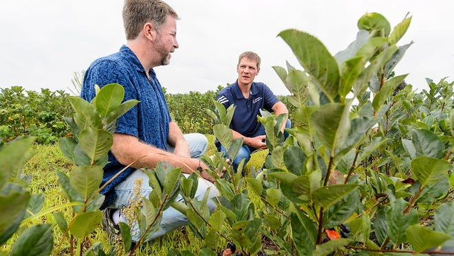 Chris Krueger (left), director of Phytochemical Solutions, and Adam Nemitz (right) examine Nemitz's crop of aronia berries on his farm near Tomah, Wisconsin on Aug. 11, 2016.