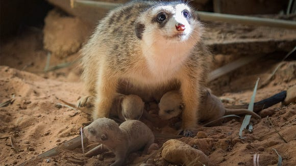 A proud mama with her meerkat pups at the Brevard Zoo.