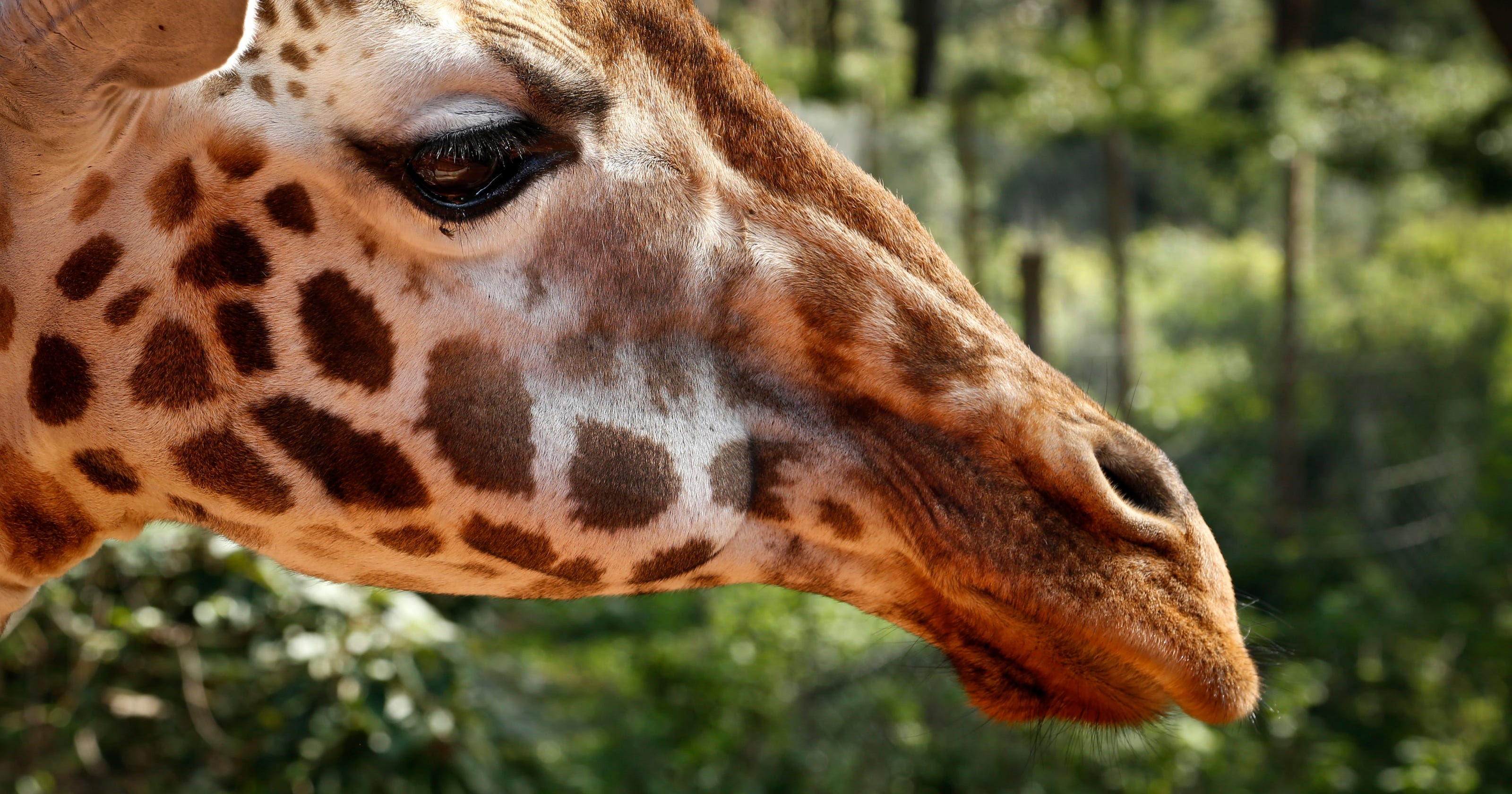 giraffes face silent extinction as population shrinks nearly 40