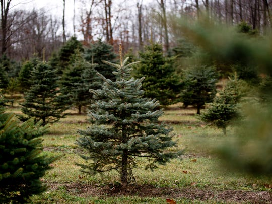 Hundreds of trees are seen growing Saturday, November 28, 2015 at Dunsmore Blue Spruce Christmas Tree Farm in Smith's Creek.