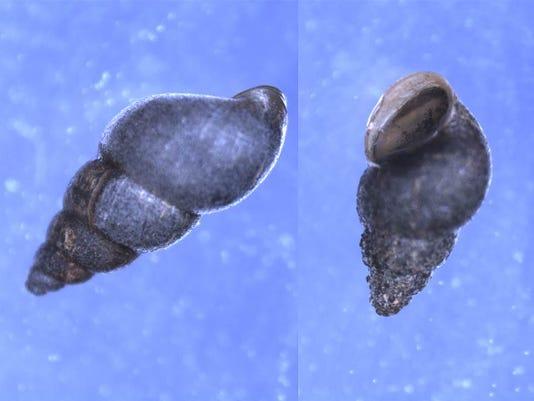 mud-snail-usgs.jpg