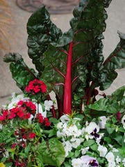 Swiss chard has become a staple in the grocery store.