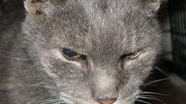 found-oldgraycat