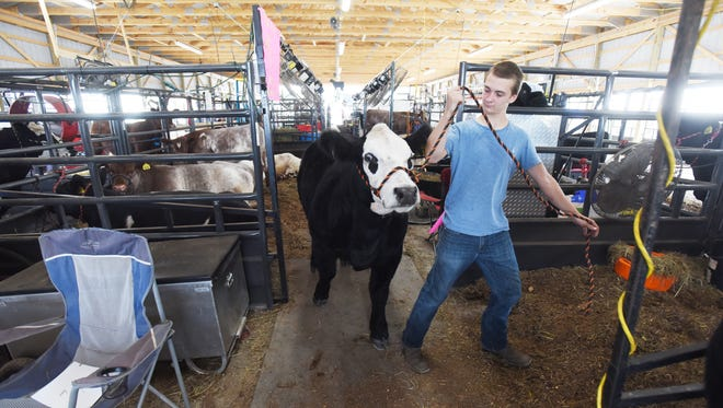 Zane Rush leads Rocky back to his stall in the new cattle barn at the Muskingum County Fairgrounds on Wednesday.