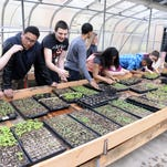 Students at Millville High School plant herb seedlings in a greenhouse during an Environmental Science II class on Friday, March 27, 2015.  Staff photo/Charles J. Olson