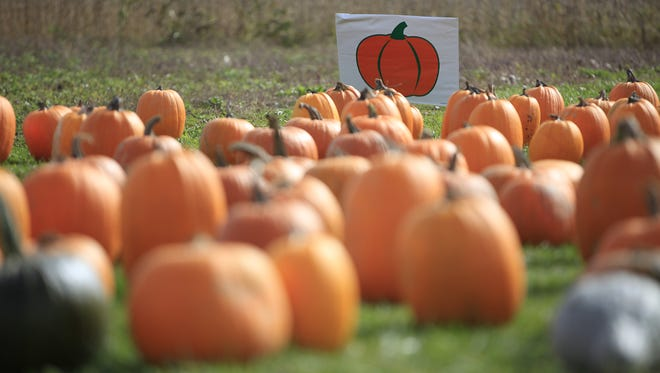 Dozens of pumpkins are collected at the front of a field at Landess Farm during a past fall festival.
