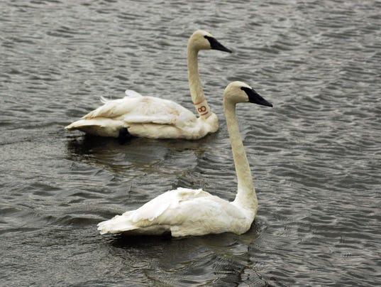 636208001208698867-swans2.jpg