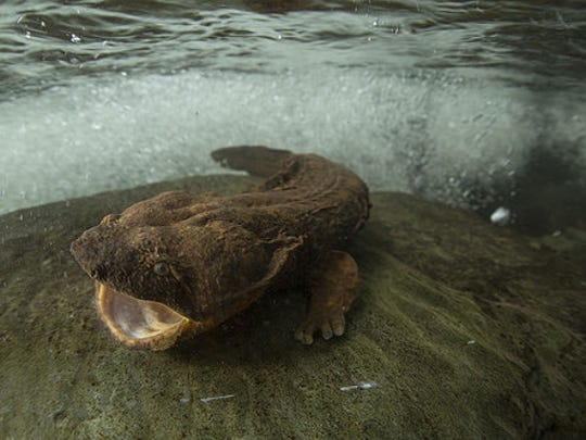 """""""The Last Dragons"""" is an intimate glimpse of a ancient salamanders known as """"hellbenders."""""""