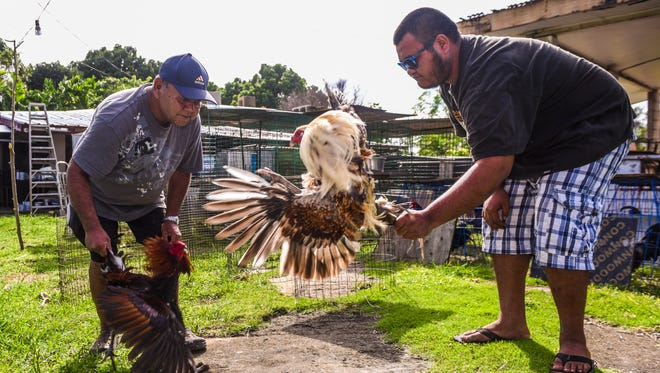 Roy Mesa, left, and his son, Roy Mesa Jr., demonstrate how they spar gamecocks as part of their training regimen outside their home in Yona on Tuesday, Nov. 7, 2017. The elder Mesa says is opposed to the bill introduced in Congress to ban cockfighting in Guam and the Commonwealth of the Northern Mariana Islands. He said his grandfather taught his father, his father taught him, and he is now teaching his son the sport of cockfighting.
