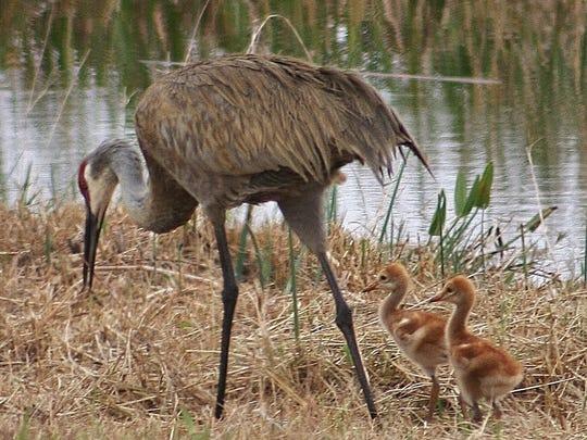Visitors to Nebraska in spring can see sandhill cranes,