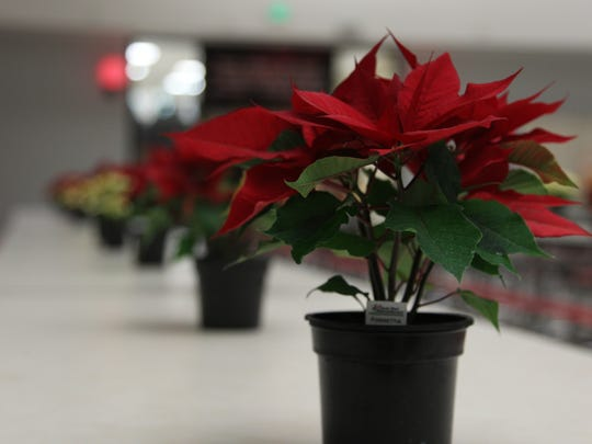 Rows of live poinsettias decorate the lunch tables at the Christmas Day Community Dinner at Jefferson High School on Dec. 25, 2016, in Lafayette.