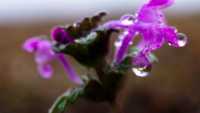 Dew drips off a Henbit Deadnettle in Blount Cultural Park, Montgomery, Ala. The National Weather Service is predicting a high  near 80 degrees in Montgomery on Wednesday with an extreme drop in temperatures later in the week.