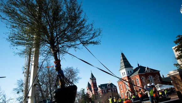 Workers use a crane to plant the first of two oak trees