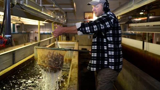 DNR hatchery biologist Matt Hughes carries young Chinook salmon to another tank where they will be transported to their new homes in streams that feed Lake Michigan on April 21, 2016 at the Wolf Lake State Fish Hatchery in Mattawan, Mich.