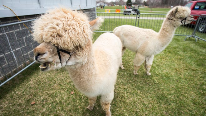 Dooby Doo, a 6-year-old male Huacaya alpaca, left, chews on grass while Bruiser, also a 6-year-old Huacaya alpaca, watches passersby at Earth Fair, held Friday, April 27 at Goodells County Park.