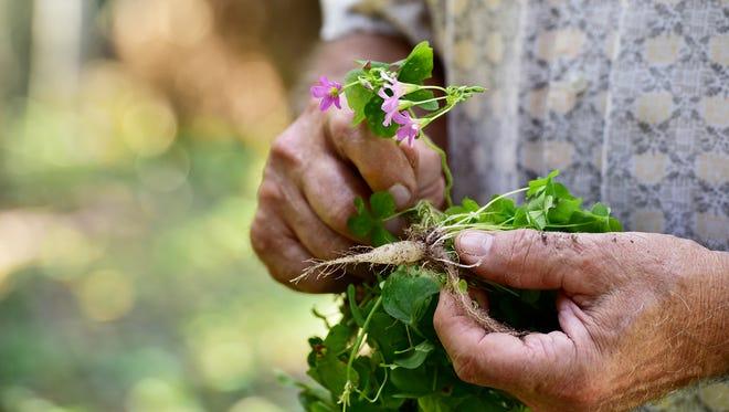 The wood sorrel is an edible weed.