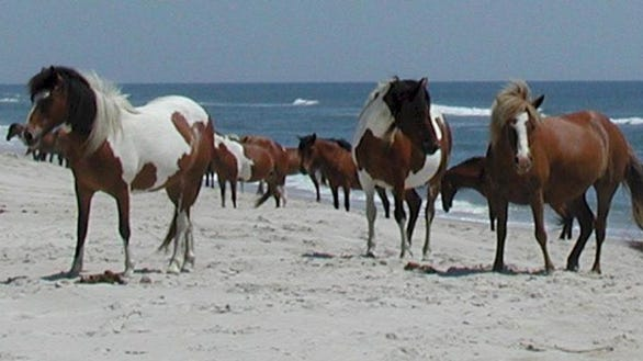 National Parks free Assateague Island National SEashore horses MD VA28586B91-155D-451F-67B19FCCF38B83A6-large