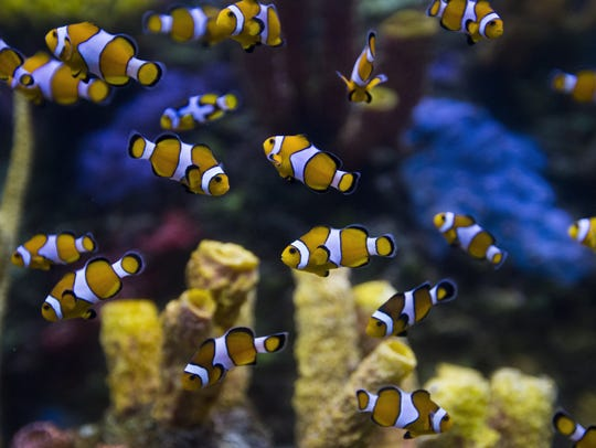 Dozens of clownfish swim around a tank at the Wonders