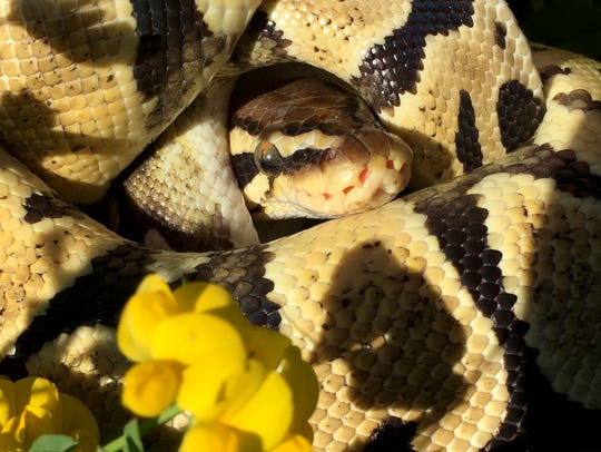 Ball pythons coil into a ball for protection when threatened.