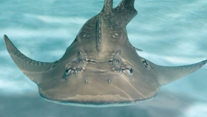 An ultrasound performed Oct. 1 confirmed two of the Northern Kentucky aquarium's shark rays - Sweet Pea and Sunshine - are pregnant. The pregnancies are just the second and third documented cases of shark ray breeding by professionals, according to the aquarium website.