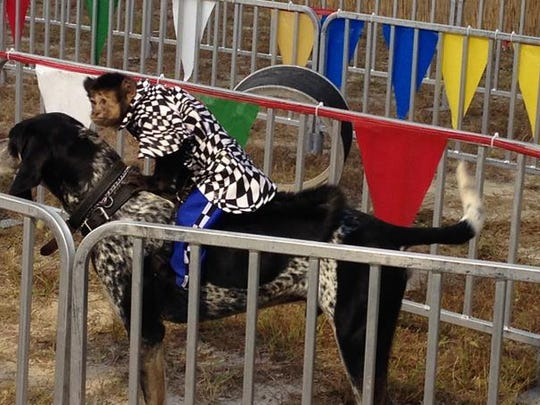 The Fair at Fenway South features its popular Banana Derby – yes, monkeys racing on dogs. This is the second weekend of the three weekend-festival at JetBlue Park in Fort Myers.