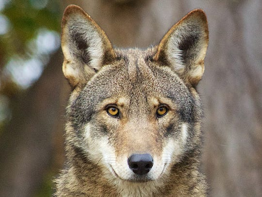 The red wolf is so endangered, there are fewer than 50 known individuals in the wild in the world today.