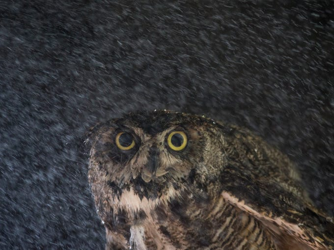 You can't tell by its face, but this great horned owl