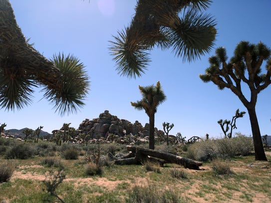 Joshua trees dot the landscape surrounding Cap Rock