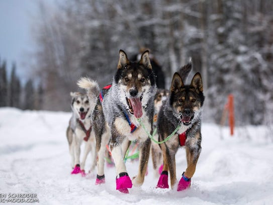 Emily Maxwell leads her sled dogs through a qualifying
