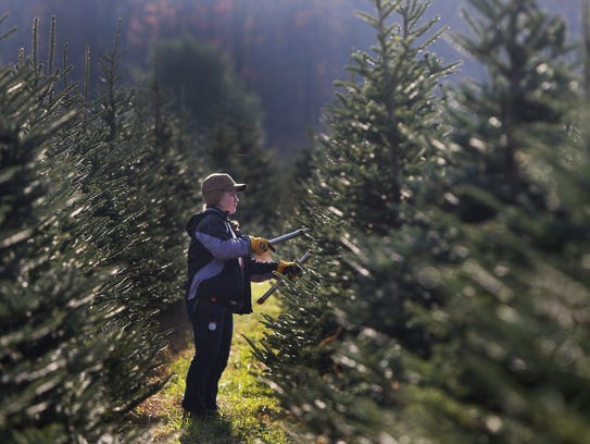 Gwen Hely prunes a tree at All Western Evergreen Nursery and Christmas Tree Farm  in 2014.