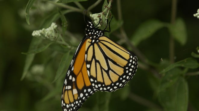 Monarch butterfly numbers have been on the decline. This winter, the population saw a 144 percent increase from the previous winter. Researchers think favorable weather during spring and summer breeding season and fall migration period played a role in the increase.