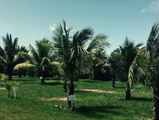 Banana and coconut plantation