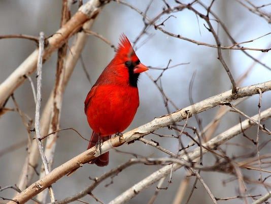 Cardinal by Jim Campbell.jpeg (2)