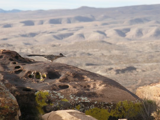 A road runner sprints away on the Rim Rocks Trail in the Santa Clara River Reserve. The Rim Rocks Trail is one of four loops in the reserve that make up most of the Red Mountain 50K course.