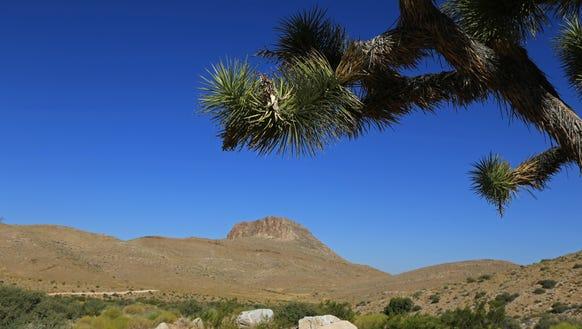 A Joshua tree grows along the Mojave Desert Joshua