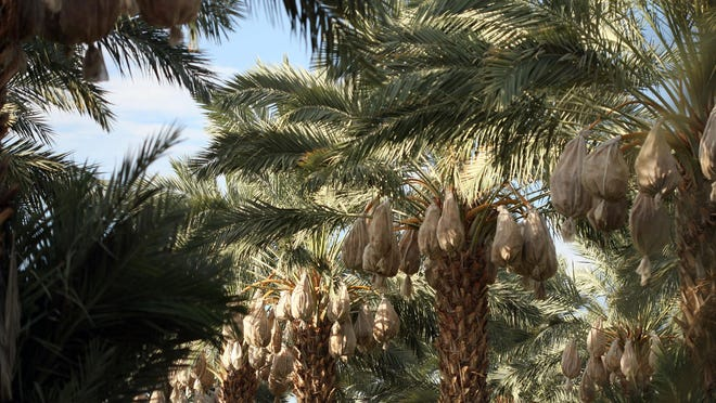 Medjool dates are sheathed in nets in August 2011 in Thermal. The medjools would be harvested a month later.
