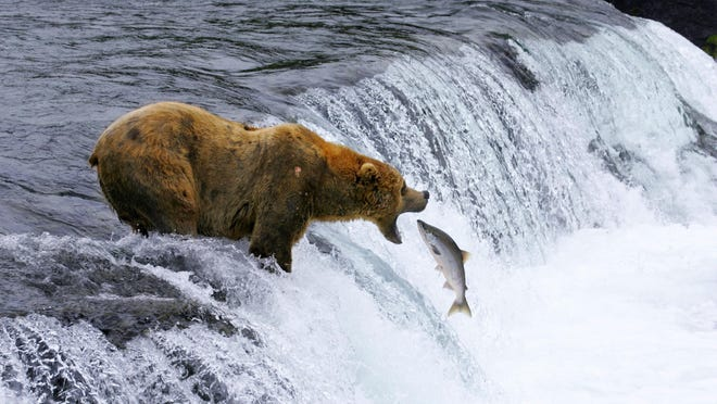 """This image of a brown bear catching salmon in Katmai National Park and Preserve in Alaska, shot in slow motion with a telephoto lens, appears in the new """"National Parks Adventure"""" IMAX movie."""