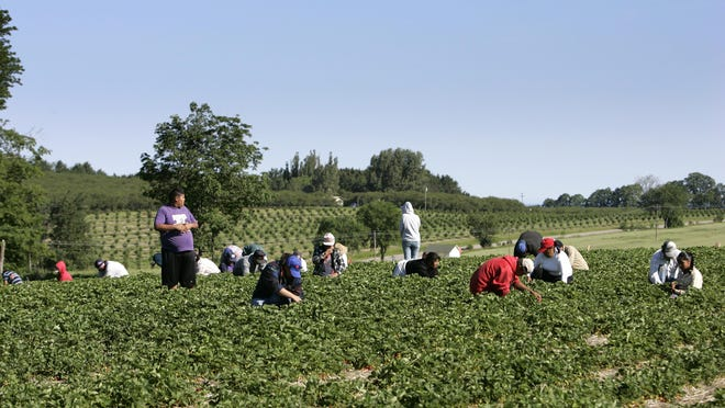 FILE - Migrant farm workers hunker down in the strawberry patch to hand pick berries at a farm in Lake Leelanau.