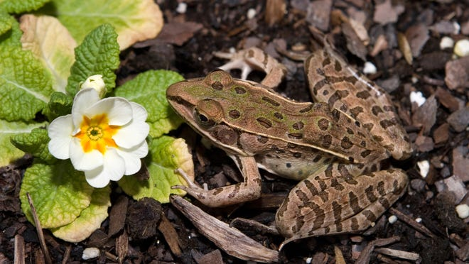Southern leopard frogs are nocturnal, so during the day they are usually hidden among plants on shore.