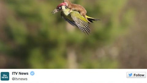 Weasel flies on woodpecker's back.
