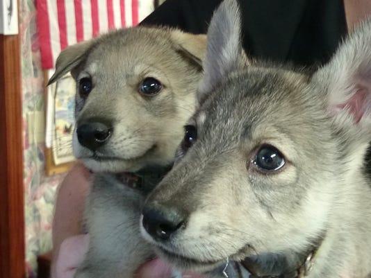 635567323277198083-hollywild-wolf-hybrid-pups-2