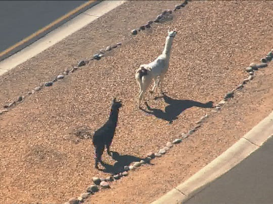 Two llamas on the loose in the northwest Valley; MCSO
