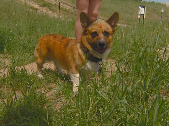 Cheatgrass can be dangerous for dogs.