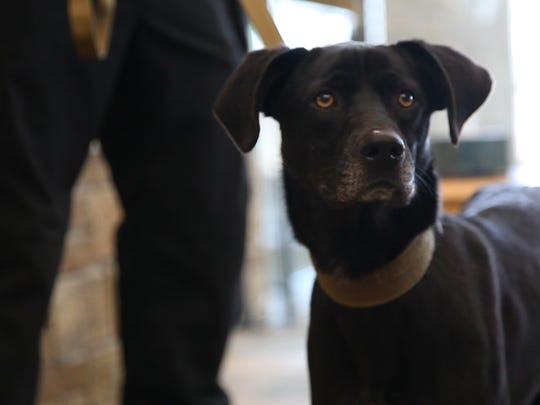 The public was introduced to Bosco, Ankeny's newest K-9 at the Ankeny police headquarters Tuesday afternoon.
