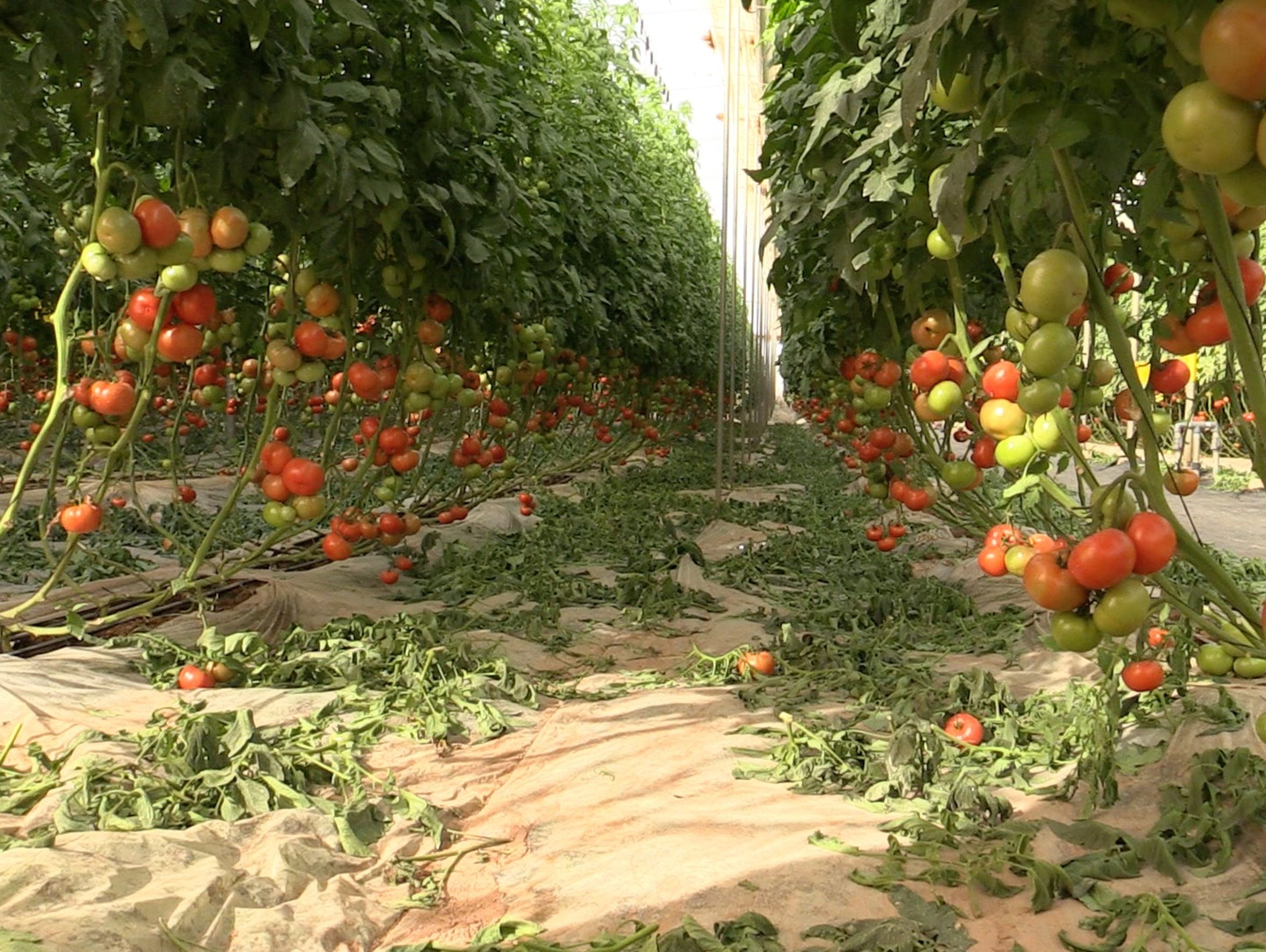 Tomatoes hang in a greenhouse at the Technology Transfer