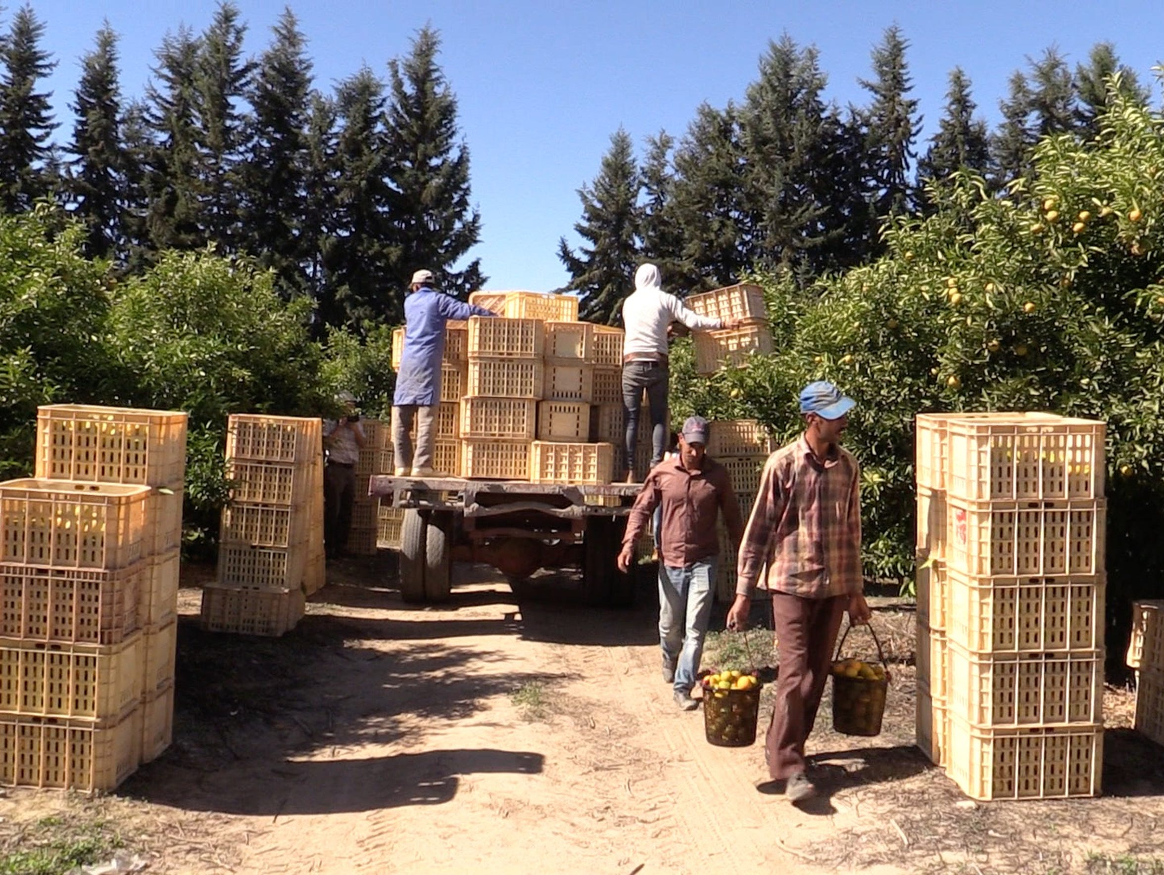 Workers harvest clementines on a large farm near Taroudant