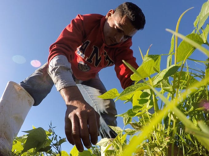Mohamed Rifaat pulls weeds on a field of green beans