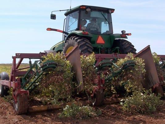 Peanut Harvest.jpg