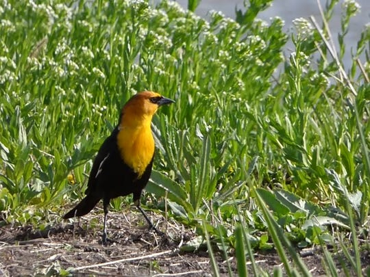 A yellow-headed blackbird was spotted along county