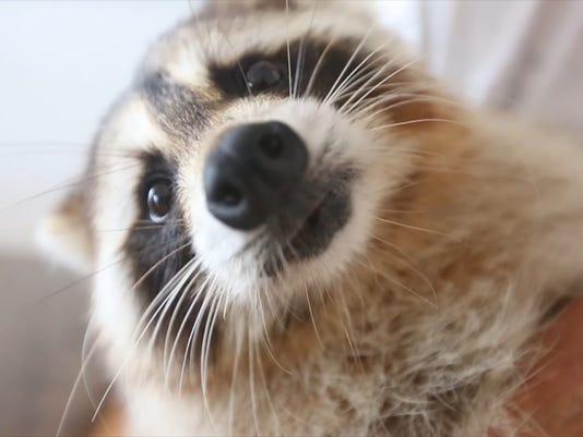Trouper the raccoon